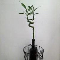 plante en bouteille